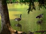 Beautiful Duck Image