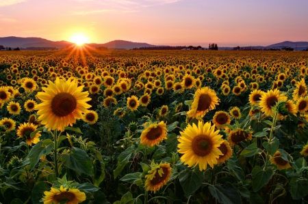Sunflower sunset - glow, lovely, dazzling, beautiful, sunset, sky, rays, sunflowers, summer, nature, field