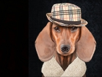 Handsome dachshund