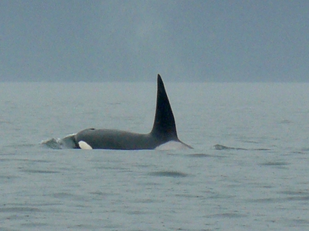 Male Orca - orca, sidney, canada, bc