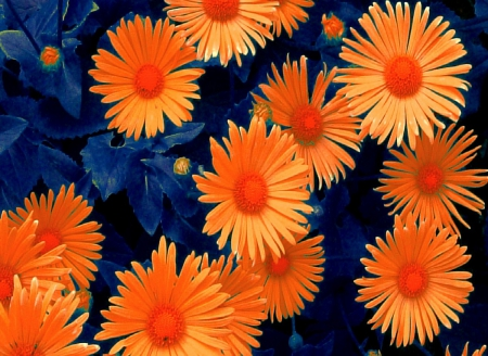 daisies_abstract effect - pretty, dynamic, stunning, orange, orange flowers, beautiful, cold, roy, contrast, hot, flowers, other, Leonid, vibrancy, abstract, daisies, Afremov, awesome, blue and orange