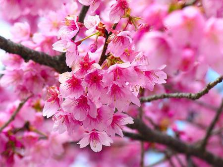 pink cherry blossoms flowers nature background wallpapers on