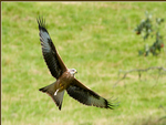 Red Kite ~ Milvus milvus