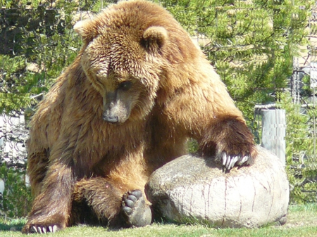 Grizzly Bear relaxing - bear, wyoming, usa, yellowstone