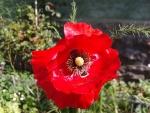 Macul rosu