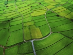 the green puzzle of rice fields