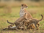 Cheetah mother and cubs lanting