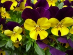 Gorgeous Pansies