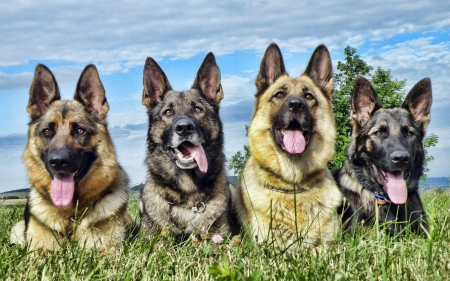 LOYAL COMPANIONS - MAJESTIC, HANDSOME, DOGS, BEAUTIFUL