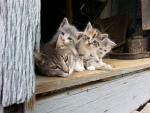 Kittens and Mom In The Barn