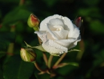 White Rose With Rosebuds