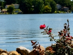 Rose By The Lake
