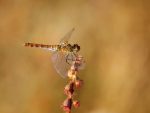 First dragonfly