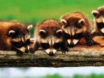 Raccoons on a log