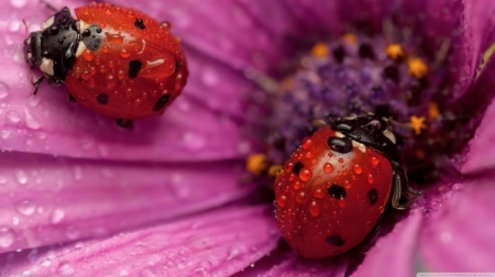 Ladybugs - close-up, colorful, dew, flowers, spring, animals, rain, ladybug, petals, dewdrops, abstract, drops, summer, nature, HD, raindrops, bugs, colours, macro, wallpaper, photography