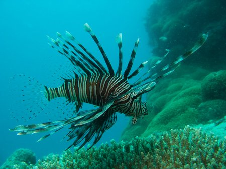 Lionfish - Great Barrier Reef - lionfish, coral reef, ocean, australia