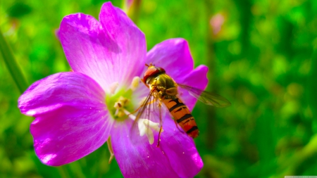 hoverfly on flower - flower, insect, purple, hoverfly