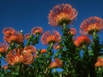Flowers of South Africa