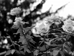 Monochrome Macro Rose