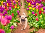 PUP in SPRING TULIPS