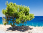 Pine Tree Seaside