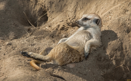Laid Back Meerkat - Cute, Africa, Meerkats, Animals
