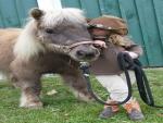 დShetland Pony & Little Girlდ