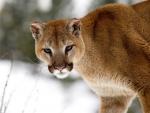 Montana cougar
