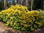Yellow rhododendron