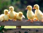 Cute little ducklings