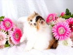 Cute persian kitty