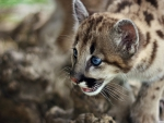 cute cougar cub