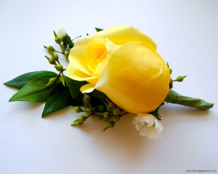 Single Yellow Rose Flowers Nature Background Wallpapers On