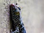 gecko thialand