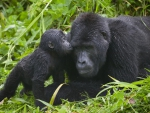 Adult and Baby Gorilla