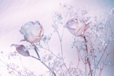 Roses - shades of blue, background, flowers, beautiful, roses