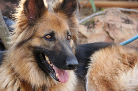 German shepherd - pretty, lovely, beautiful, animal, sweet, cute, puppys, animals, dogs, puppy, dog