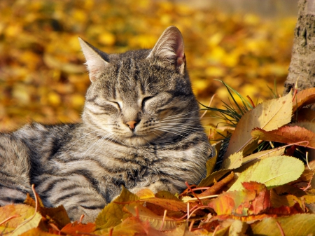 resting on a fall leaves - resting, fall leaves, cats, animals