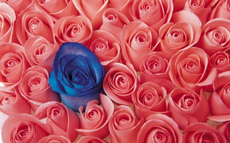 Blue rose in pink roses photography abstract background blue rose in pink roses mightylinksfo