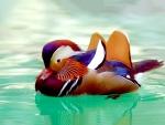 Beautiful Mandarin Duck