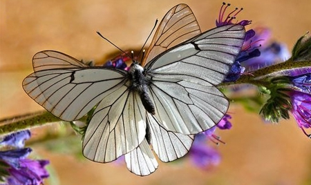 White Butterfly - Butterflies & Animals Background ...