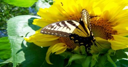 Yellow Butterfly On Sunflower - Butterflies & Animals ...