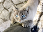 Cat with Light Blue Eyes