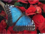 Blue Butterfly on Red Roses