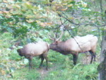 went site seeing and spotted these Elk...Rut season in PA