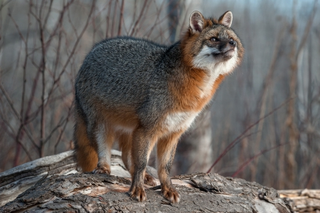 Grey Fox Other Animals Background Wallpapers On Desktop Nexus