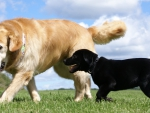 golden and labrador retriever