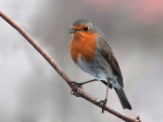 A robin on the tree