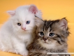 Cute Persian Kittens