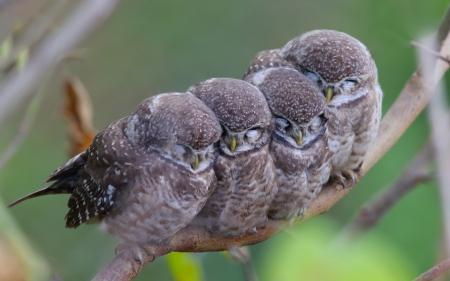 Baby Owls Birds Animals Background Wallpapers On Desktop Nexus Image 1831746